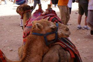 Petra Camels